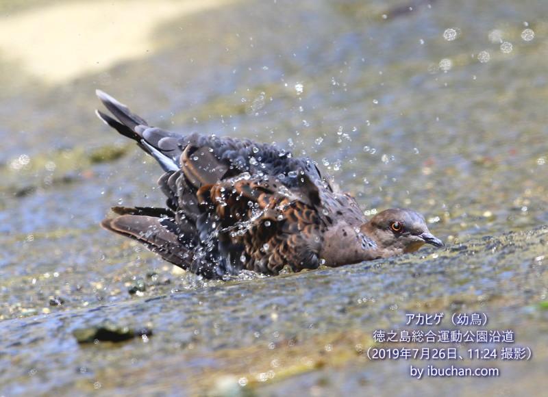 リュウキュウキジバトの水浴び