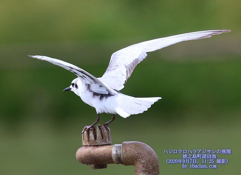 ハジロクロハラアジサシの飛翔