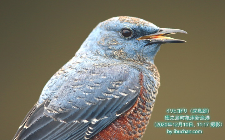 イソヒヨドリ(成鳥雄)