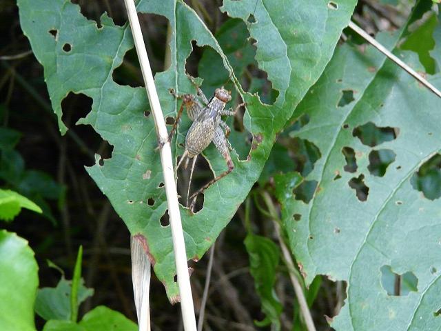 マダラコオロギ 幼虫(雌)