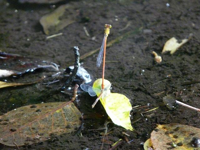 リュウキュウベニイトトンボの産卵