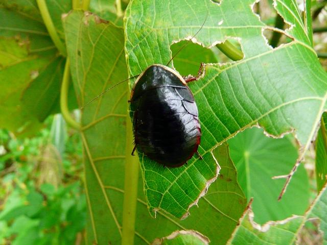 サツマゴキブリ♀