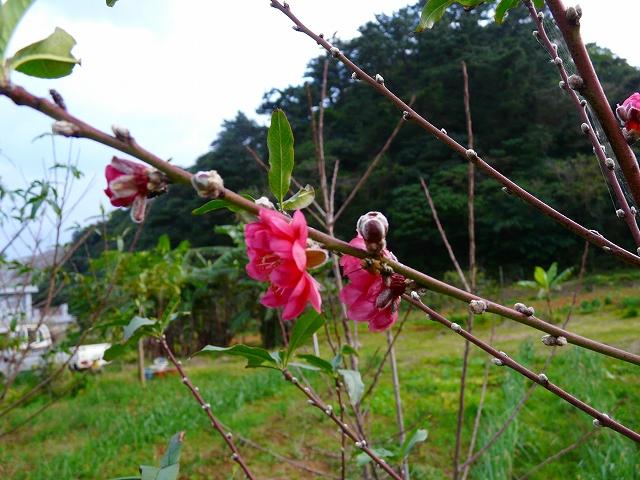 秋なのに桃の花!