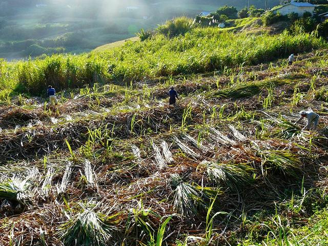 サトウキビの刈り取り風景