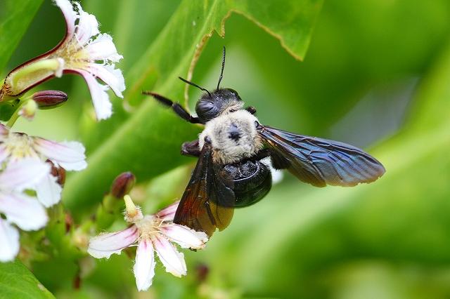アマミクマバチ