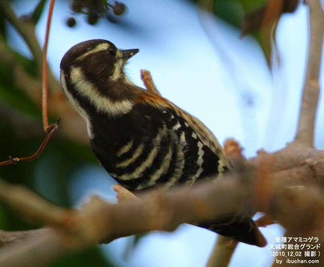 亜種アマミコゲラ2