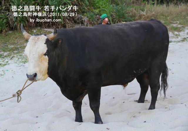 徳之島闘牛 若手パンダ牛
