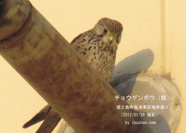 チョウゲンボウ(雌)