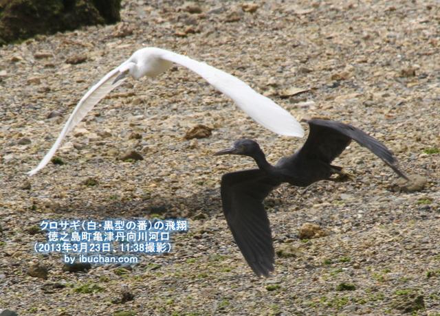 クロサギ(白・黒型の番)の飛翔