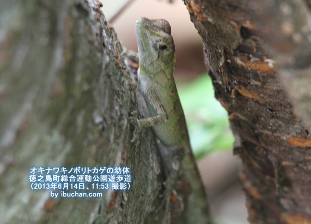 オキナワキノボリトカゲの幼体