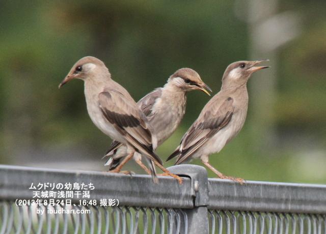 ムクドリの幼鳥たち
