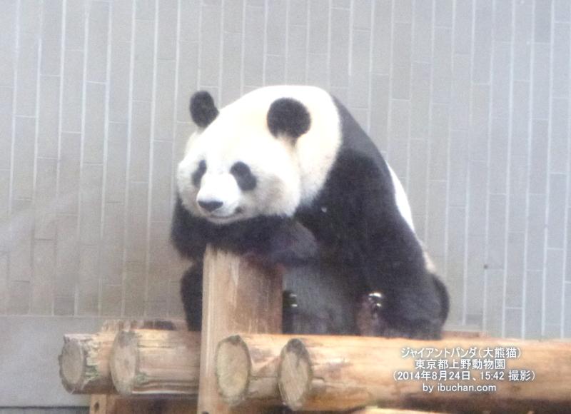 ジャイアントパンダ(大熊猫)