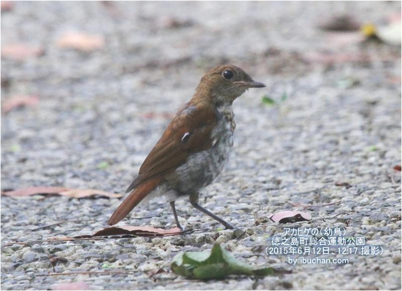 アカヒゲの(幼鳥)