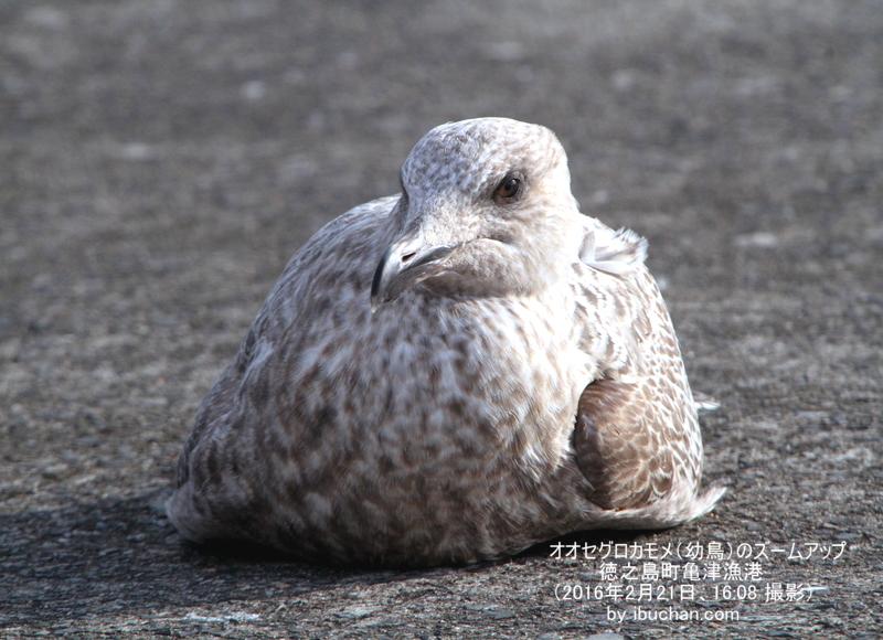 オオセグロカモメ(幼鳥)のズームアップ
