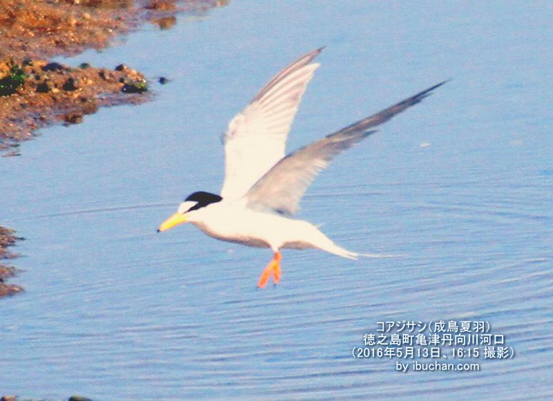 コアジサシ(成鳥夏羽)