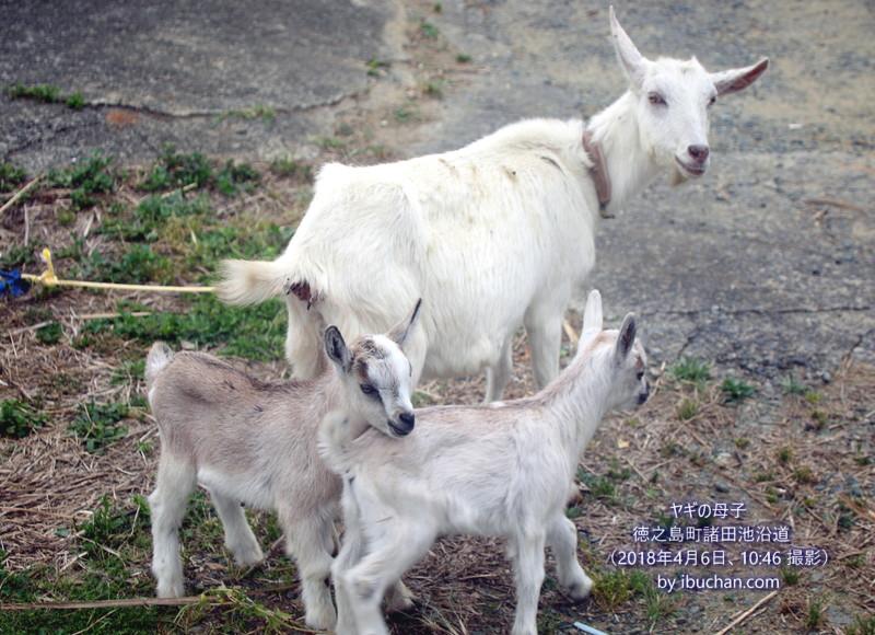 ヤギの母子