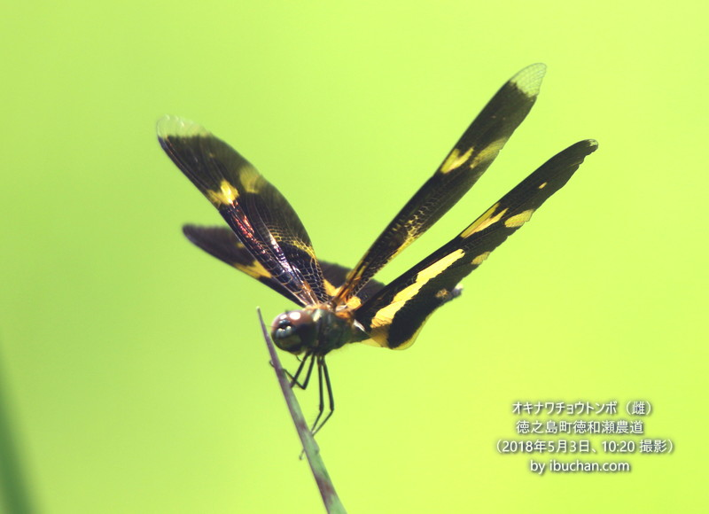 オキナワチョウトンボ(雌)