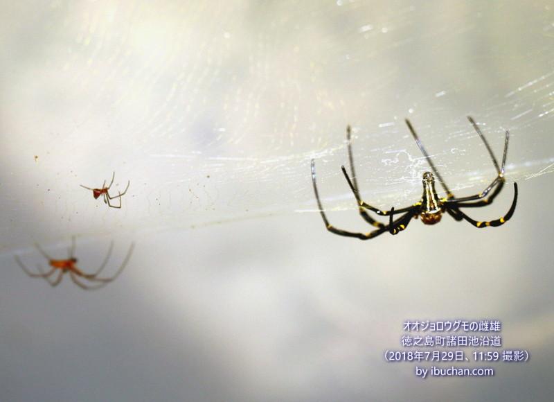 オオジョロウグモの雌雄
