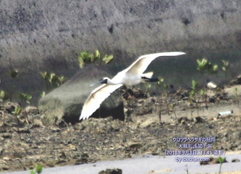 クロツラヘラサギの飛翔