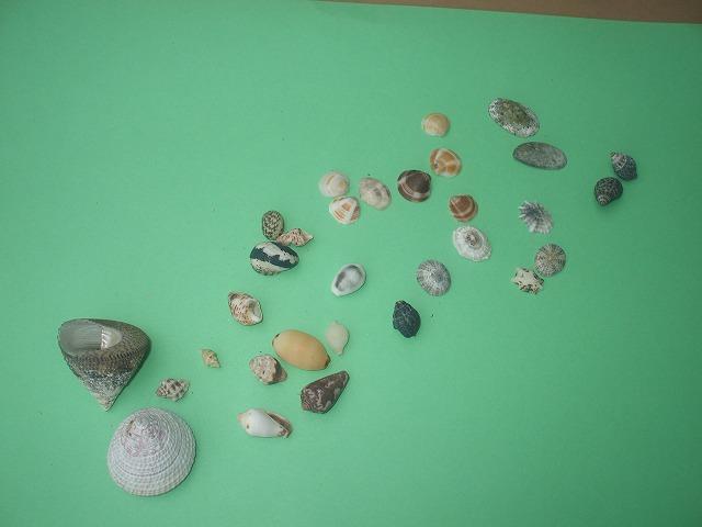 貝殻(ばばが「フンニャトゥ浜」で拾った)