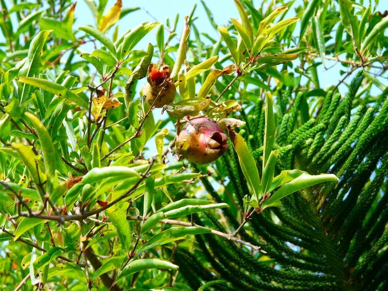 ザクロの果実